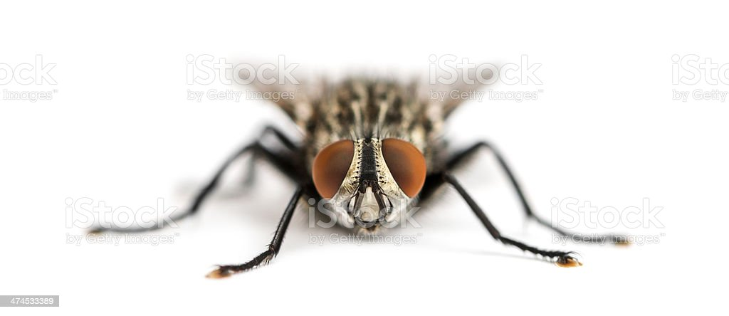 Front view of a Flesh fly facing, Sarcophagidae, isolated stock photo