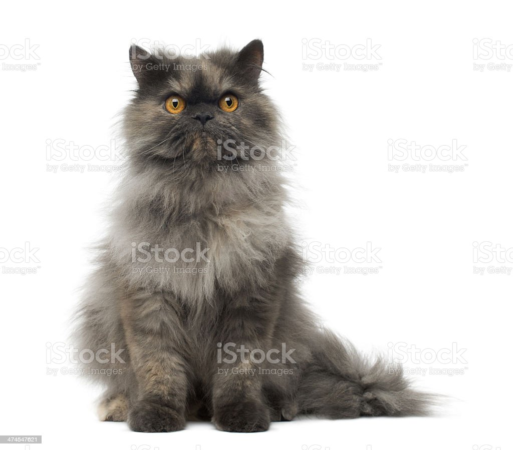 Front view of a grumpy Persian cat sitting, looking stock photo
