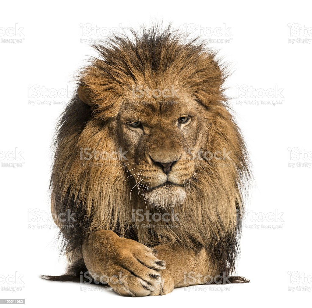 Front view of a Lion lying, crossing paws, Panthera Leo stock photo