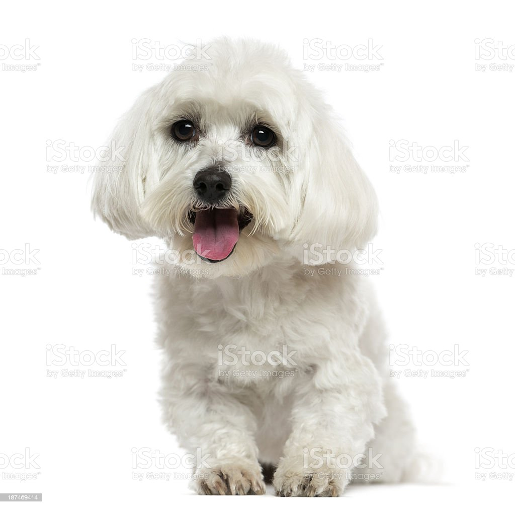 Front view of a Maltese panting, isolated on white stock photo