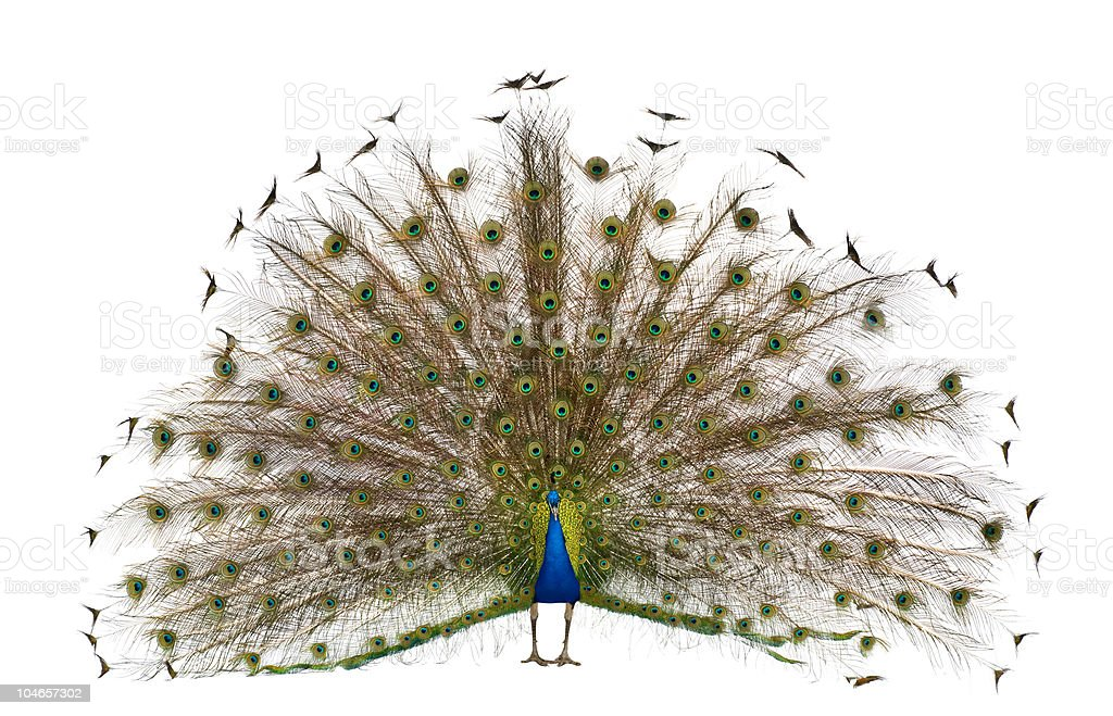 Front view of a peacock displaying tail feathers. royalty-free stock photo
