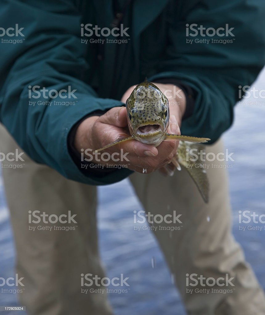 Front View of a Rainbow Trout royalty-free stock photo