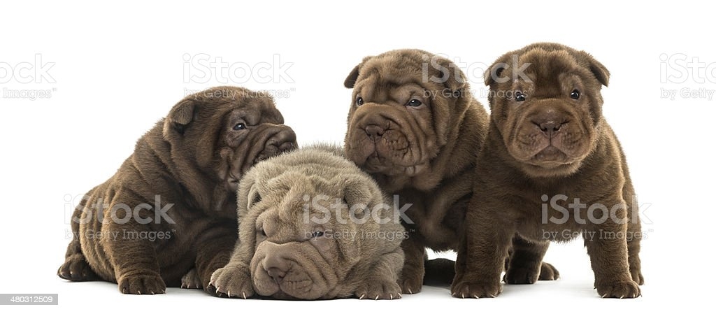 Front view of a Shar Pei puppies being together stock photo