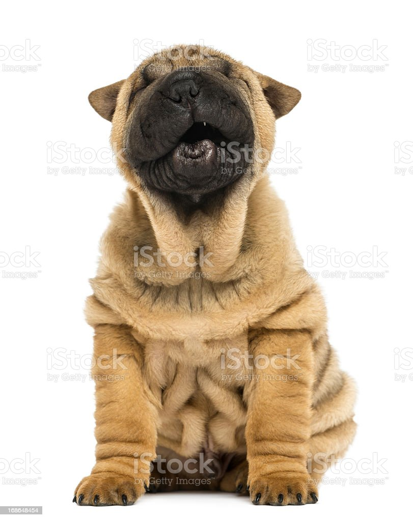 Front view of a Shar pei puppy, open mouth, Yawning royalty-free stock photo