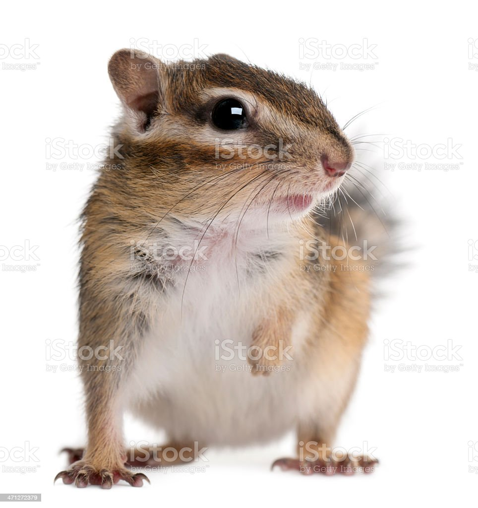 Front view of a Siberian chipmunk, Euamias sibiricus, standing. stock photo