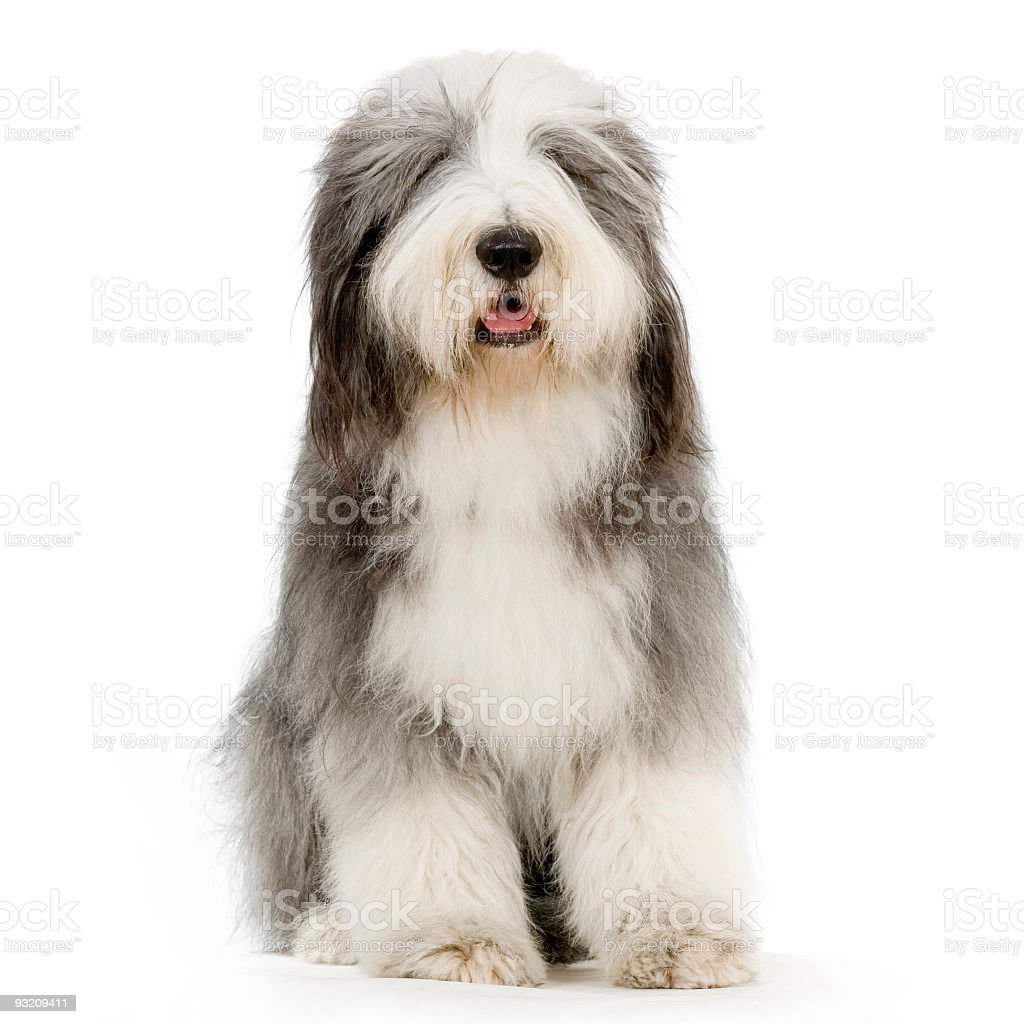 Front view of a white and gray seated Bearded Collie stock photo