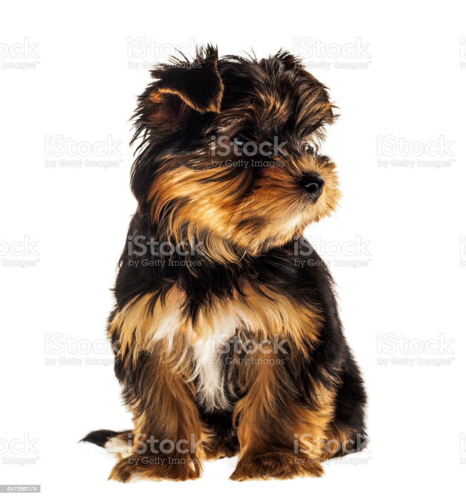 Front view of a Yorkshire Terrier, isolated on white. stock photo