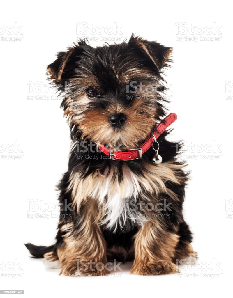 Front view of a Yorkshire Terrier, isolated on white stock photo