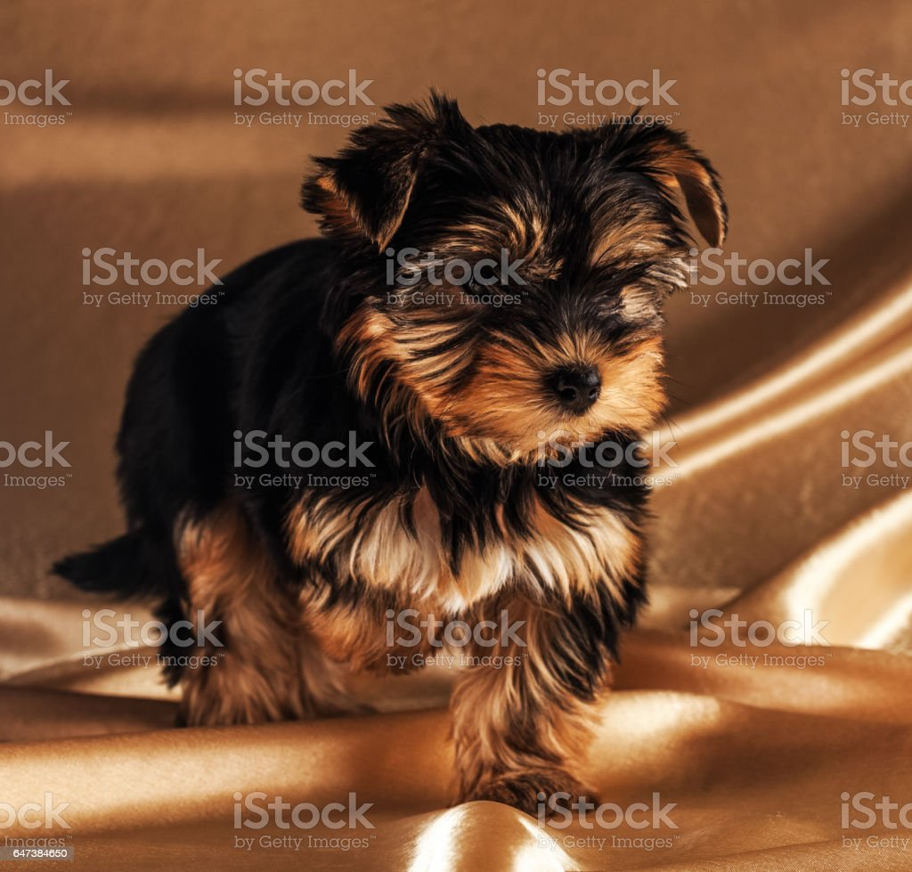 Front view of a Yorkshire Terrier. stock photo