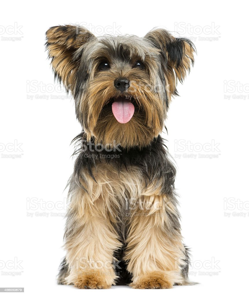Front view of a Yorkshire Terrier sitting, panting stock photo