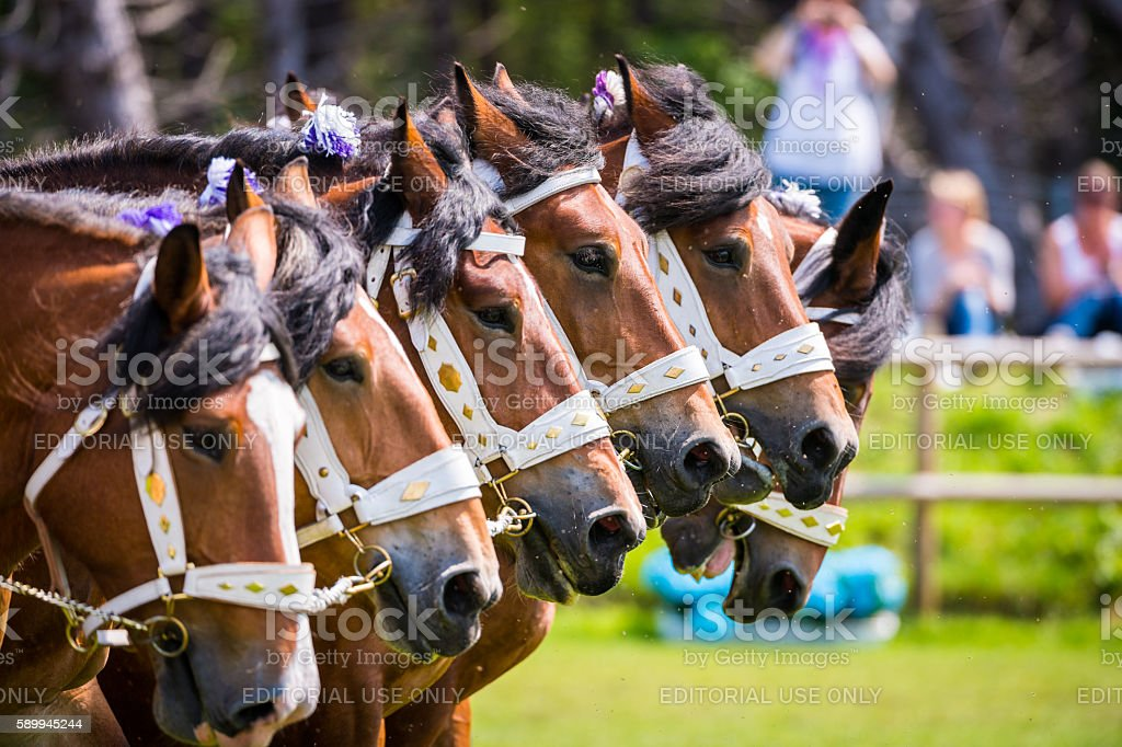 Front view of adorned powerful Ardennes horses stock photo
