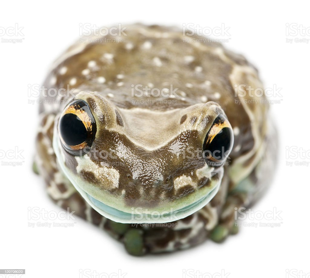 Front view of Amazon Milk Frog, Trachycephalus resinifictrix, white background. stock photo
