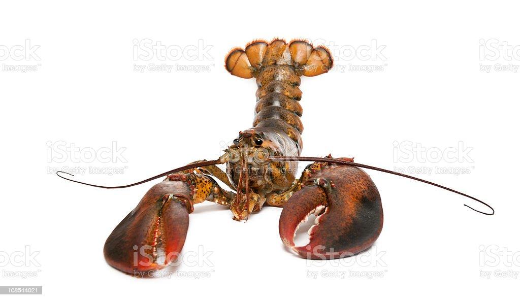 Front view of American lobster, Homarus americanus. stock photo