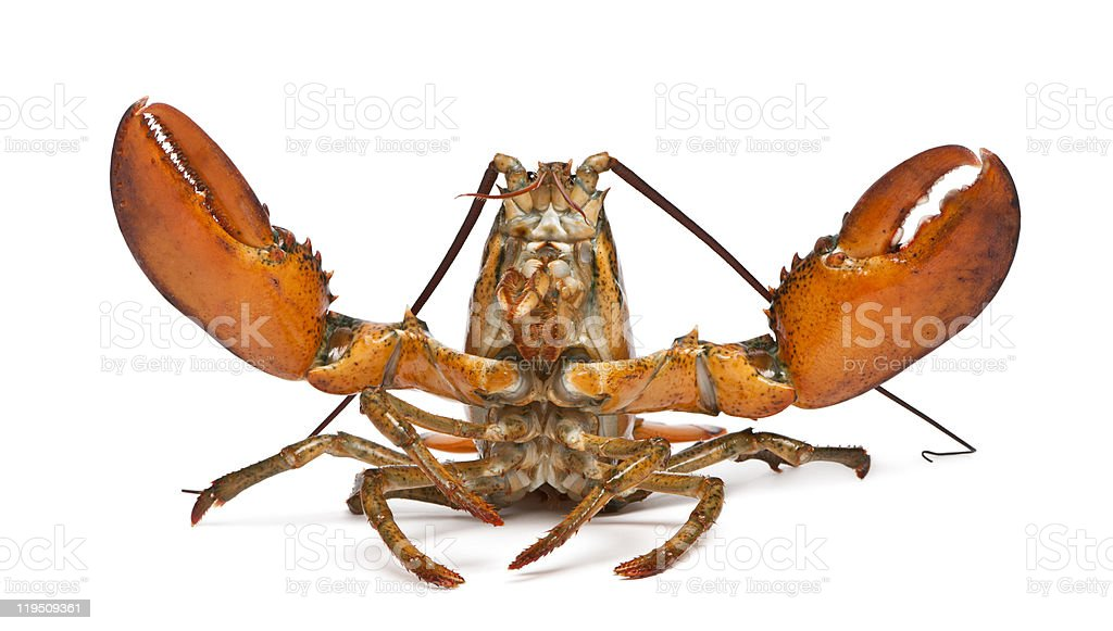 Front view of American lobster, Homarus americanus, with claws up. stock photo