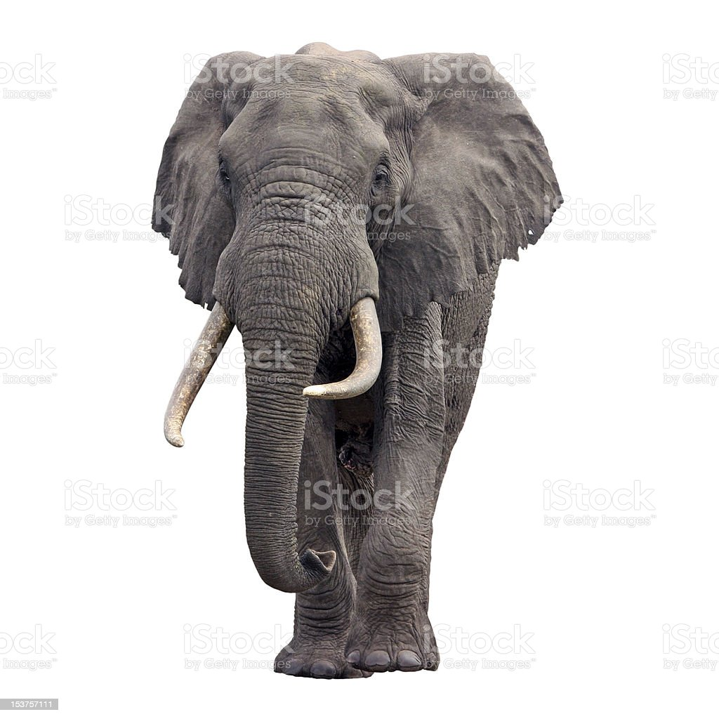 Front view of an African elephant royalty-free stock photo
