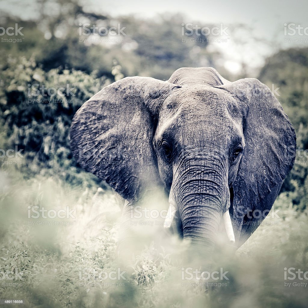Front view of an African elephant stock photo