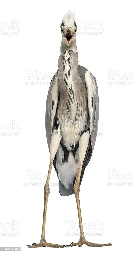 Front view of an angry Grey Heron screaming royalty-free stock photo