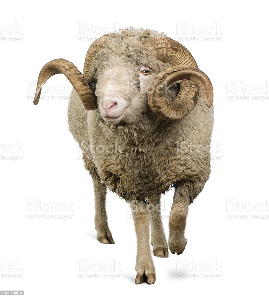 Front view of an Arles Merino sheep with long curved horns royalty-free stock photo