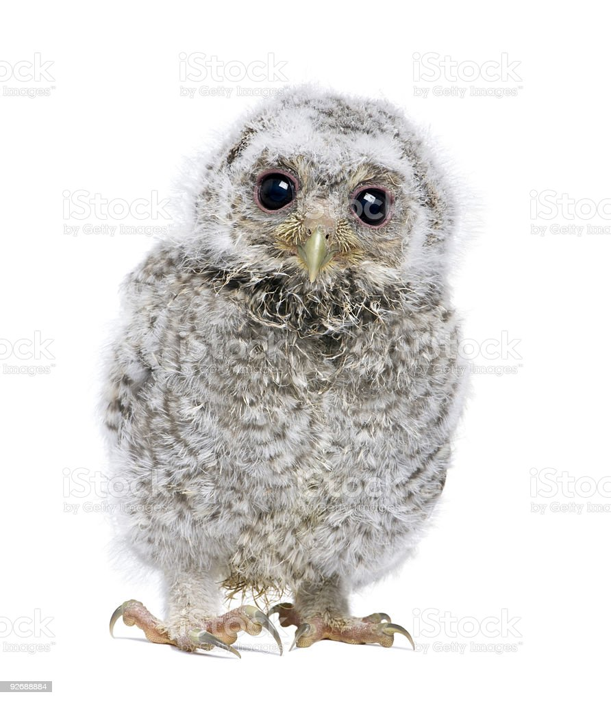 Front view of an owlet looking at the camera royalty-free stock photo