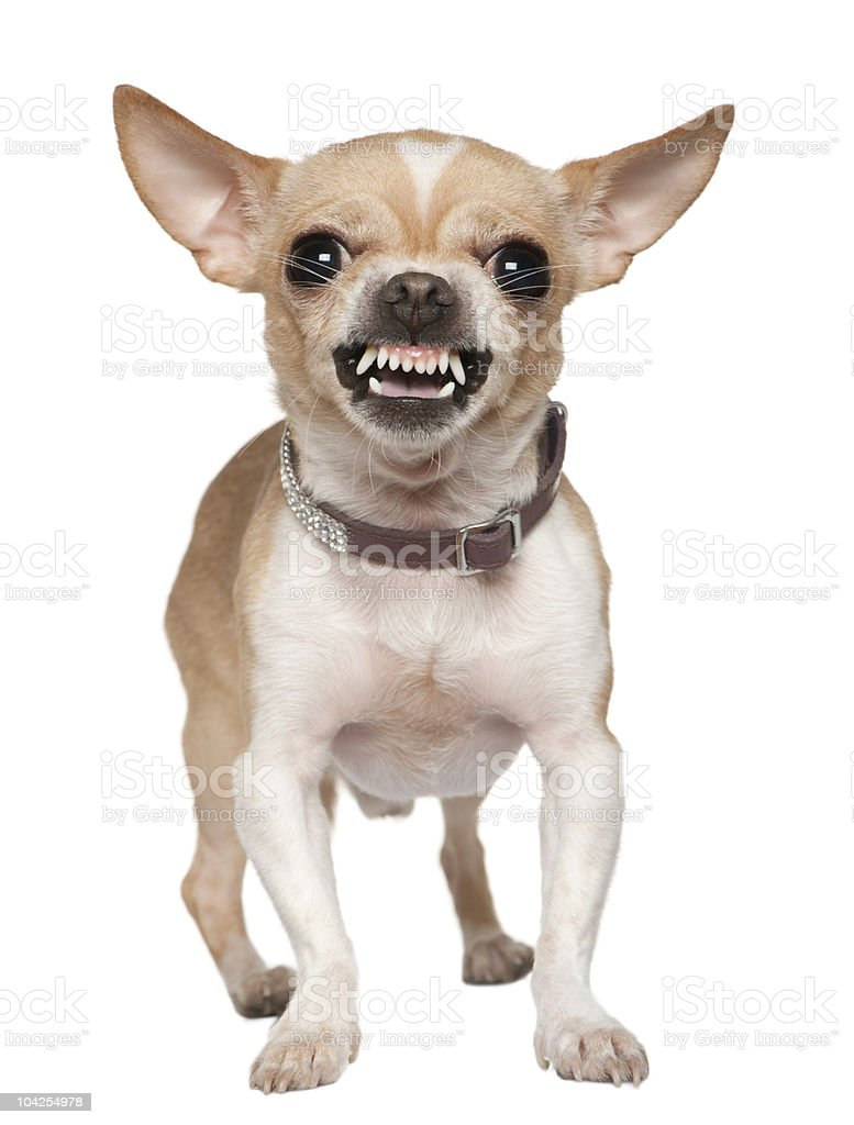 Front view of Angry Chihuahua growling, standing. stock photo