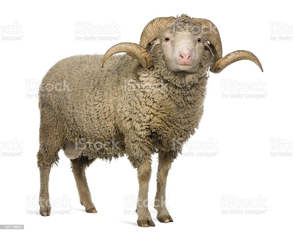 Front view of Arles Merino sheep, ram, standing. stock photo
