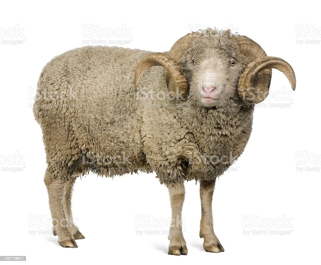Front view of Arles Merino sheep, standing stock photo