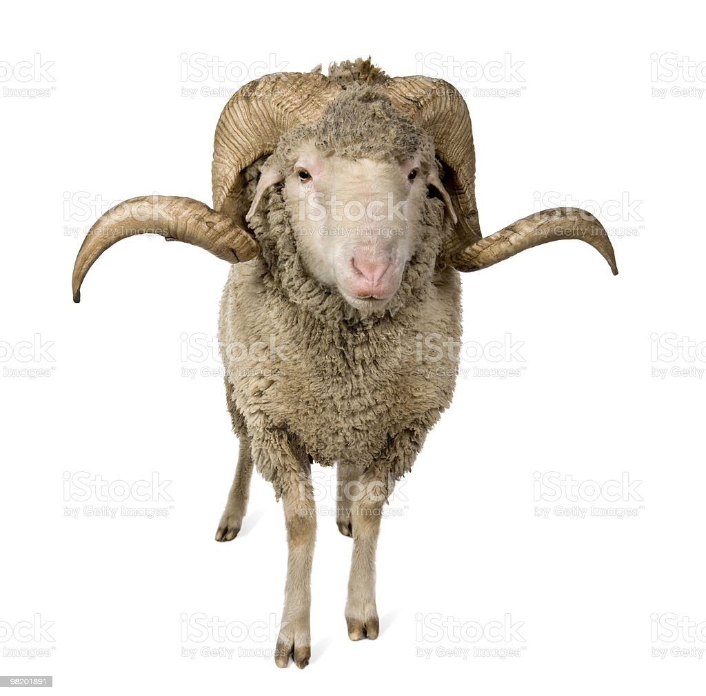 Front view of Arles Merino sheep, standing. royalty-free stock photo