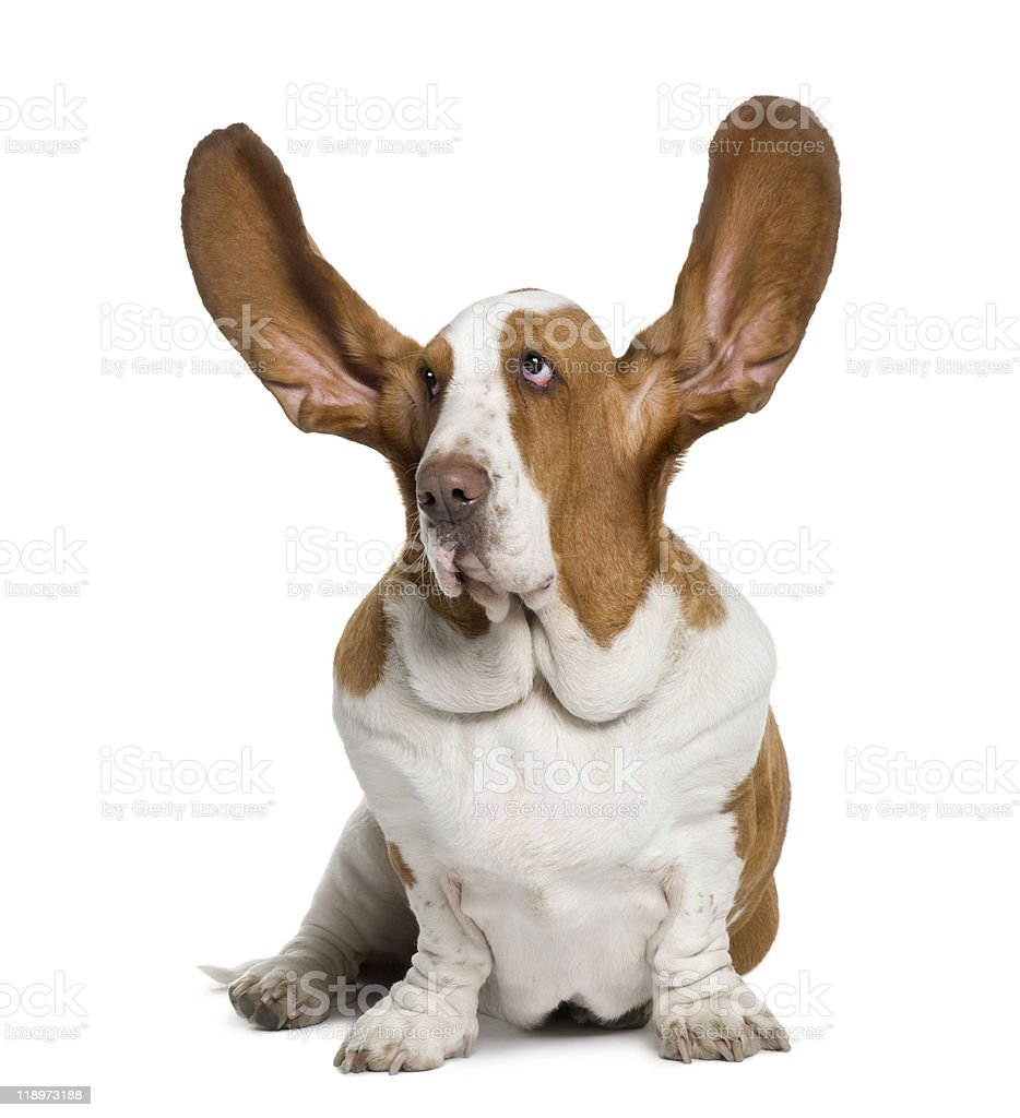 Front view of Basset Hound with ears up, sitting stock photo