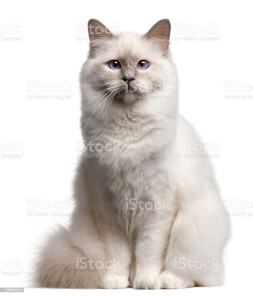 Front view of Birman cat, sitting, white background. stock photo