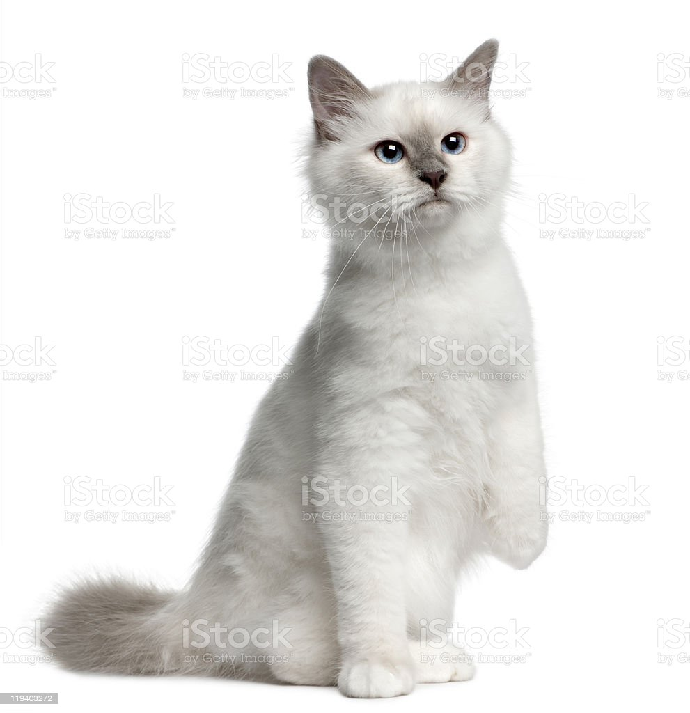 Front view of Birman Kitten, 4 months old, sitting. stock photo
