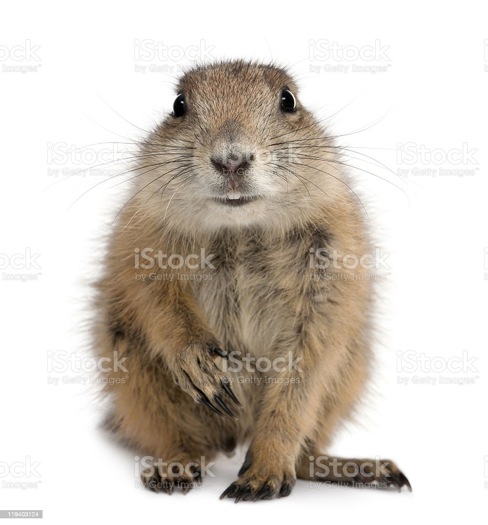Front view of Black-tailed prairie dog sitting stock photo