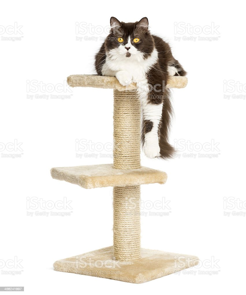 Front view of British longhair lying on a cat tree stock photo