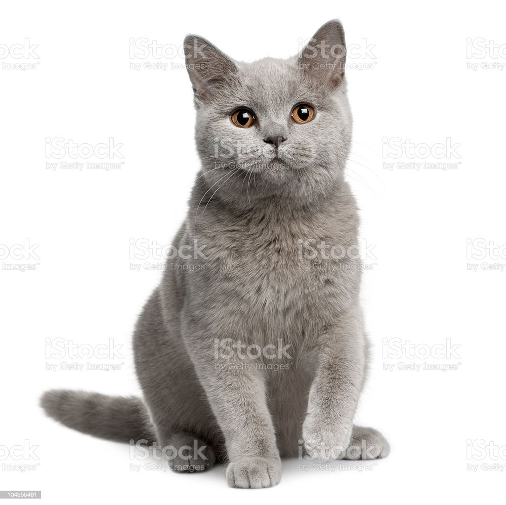 Front view of British shorthair cat, 7 months old, sitting. stock photo