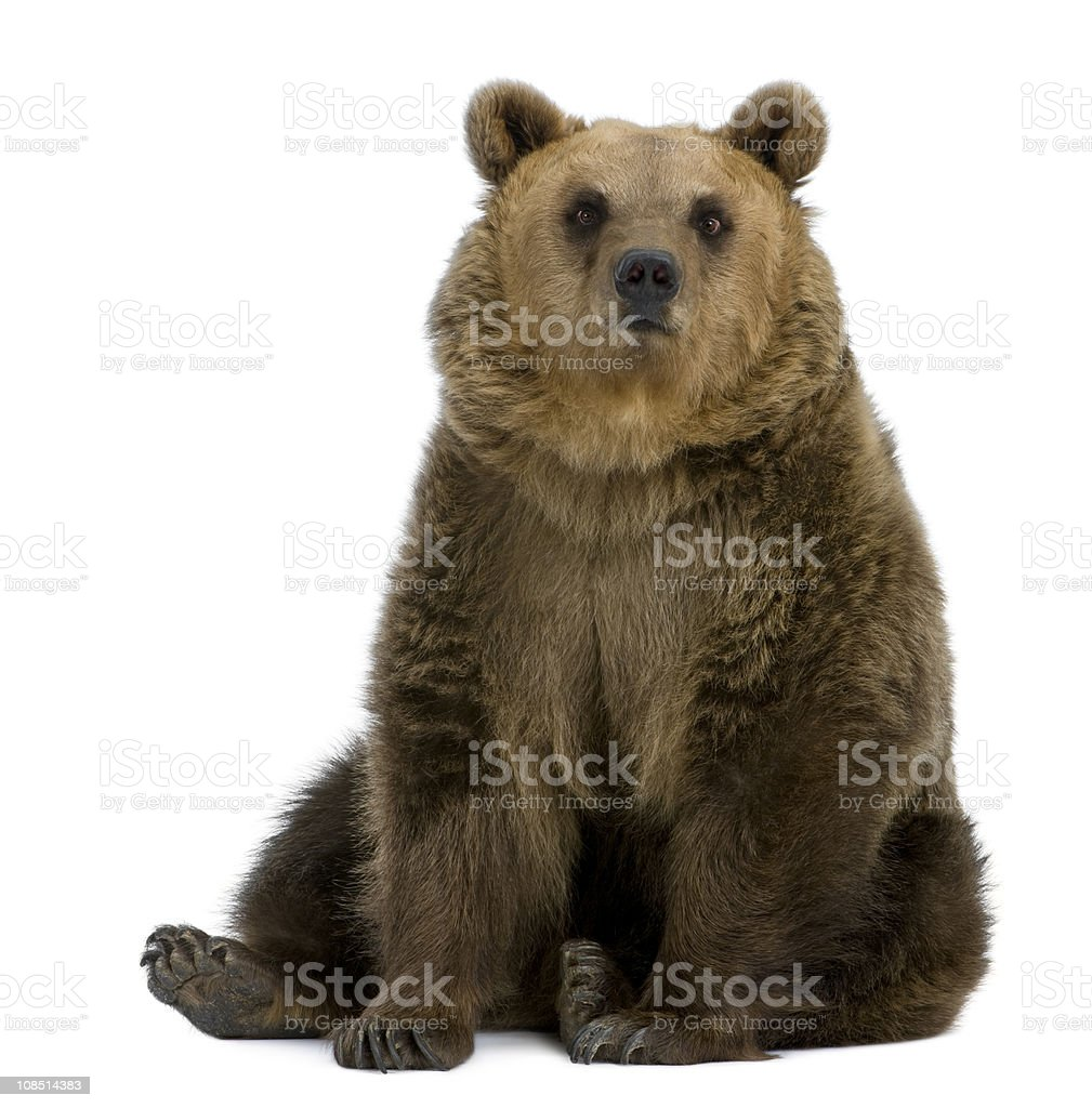 Front view of Brown Bear, 8 years old, sitting. stock photo