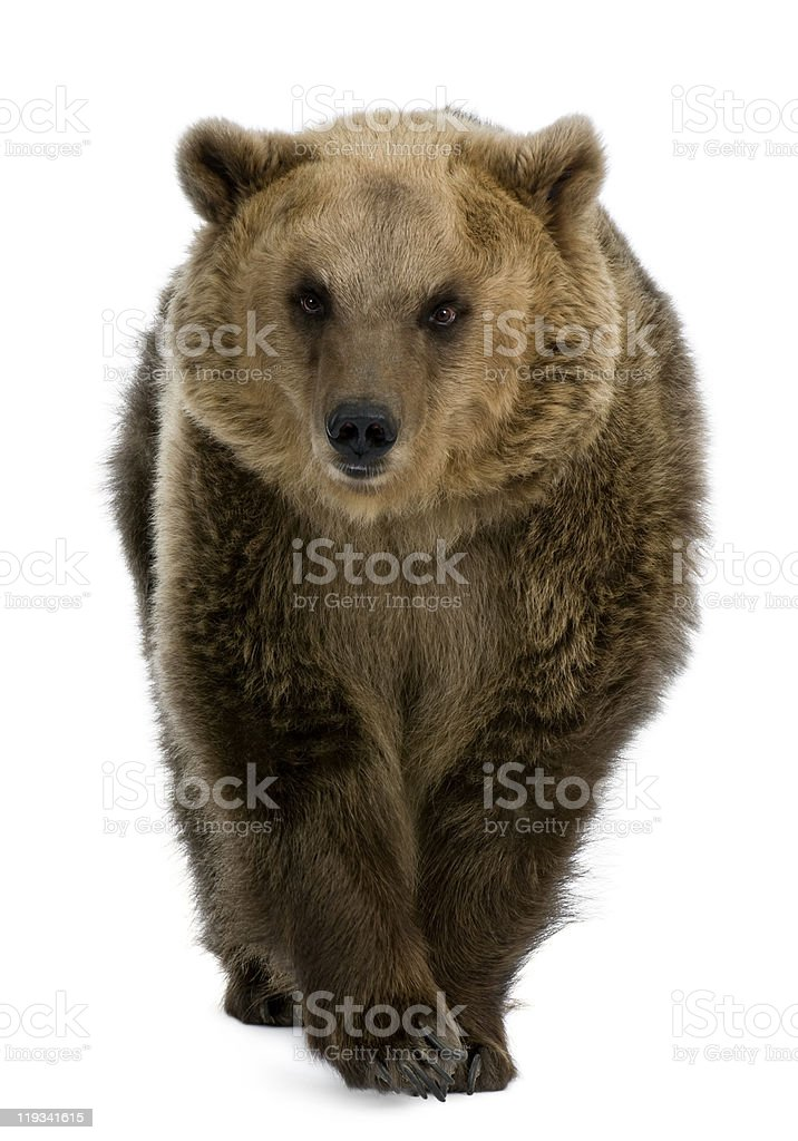 Front view of Brown Bear, 8 years old, walking. stock photo
