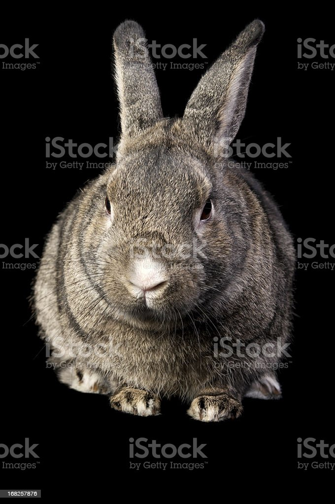 Front view of brown grey rabbit isolated on black. stock photo