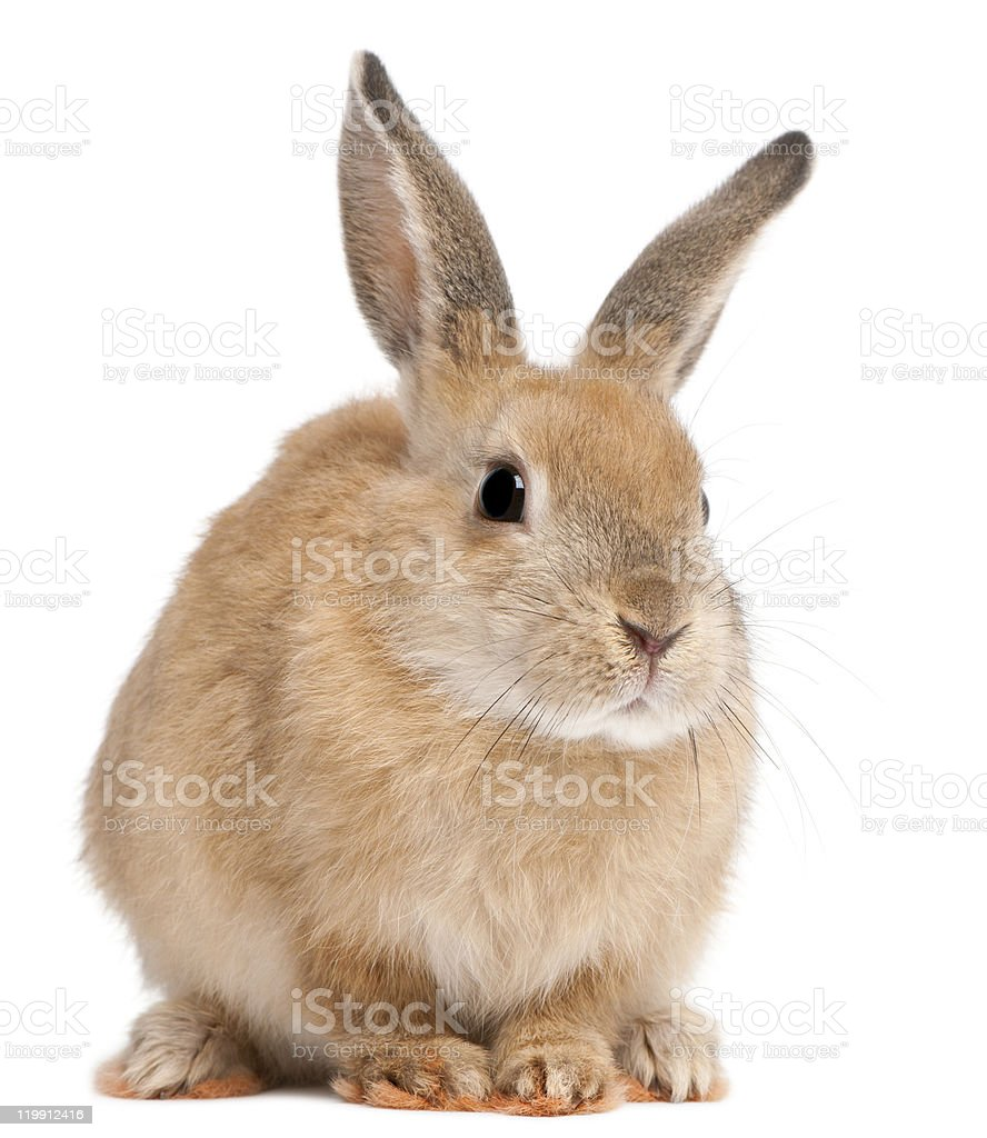 Front view of Bunny rabbit, white background. stock photo