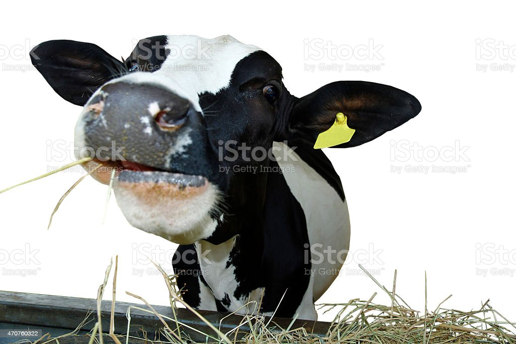 Front view of cow. stock photo
