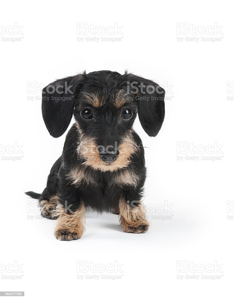 Front view of Dachshund puppy stock photo
