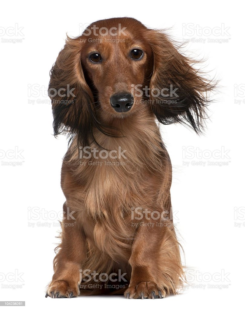 Front view of Dachshund with his hair in the wind royalty-free stock photo