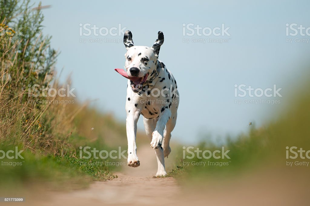 Front View of Dalmatian Dog Running on Path stock photo