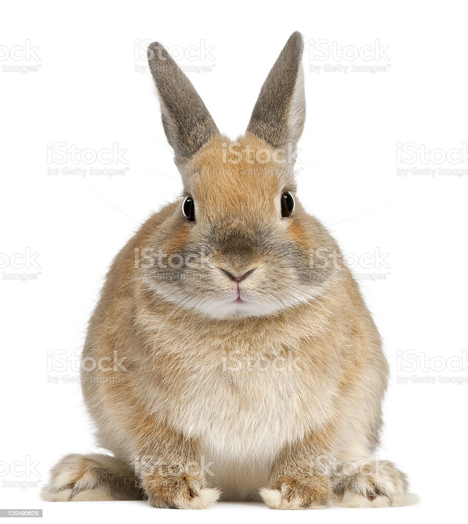 Front view of Dwarf rabbit, 6 months old, white background stock photo