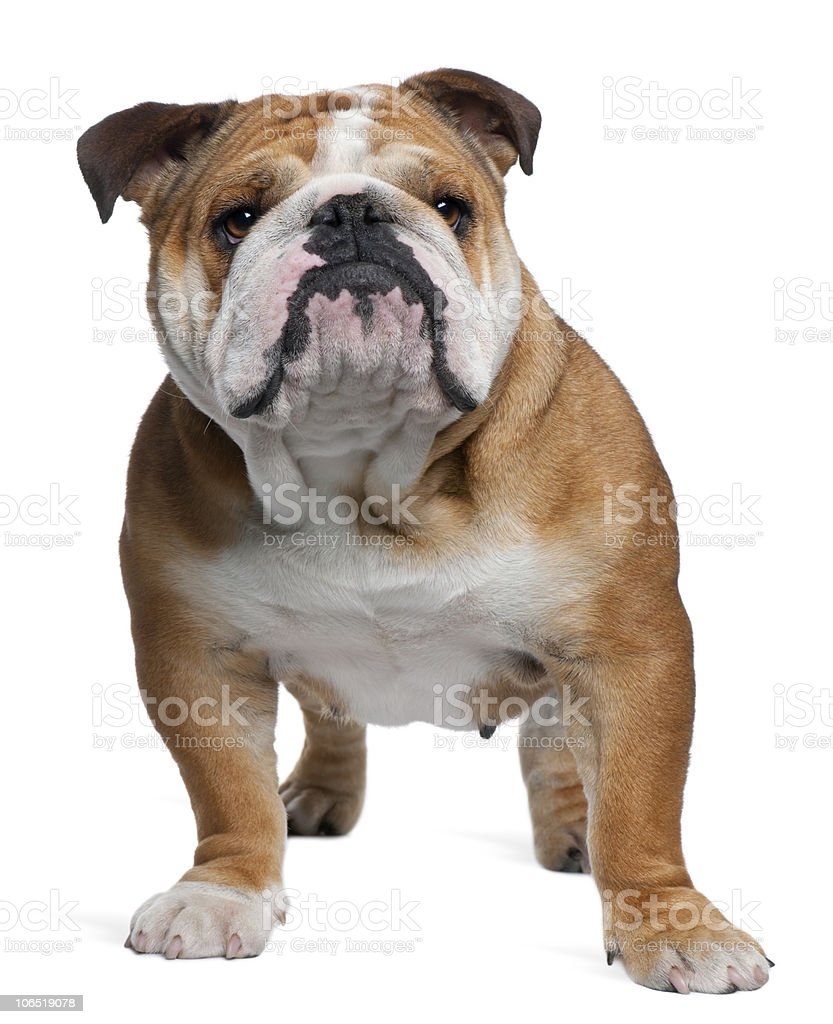 Front view of English Bulldog, 18 months old, standing. stock photo