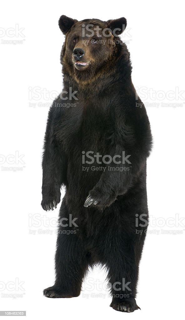 Front view of Female Brown Bear, 12 years old, standing. stock photo