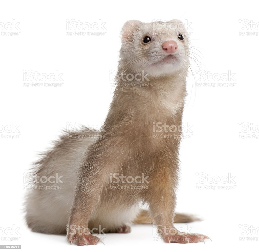 Front view of Ferret, 4 years old, looking up. stock photo