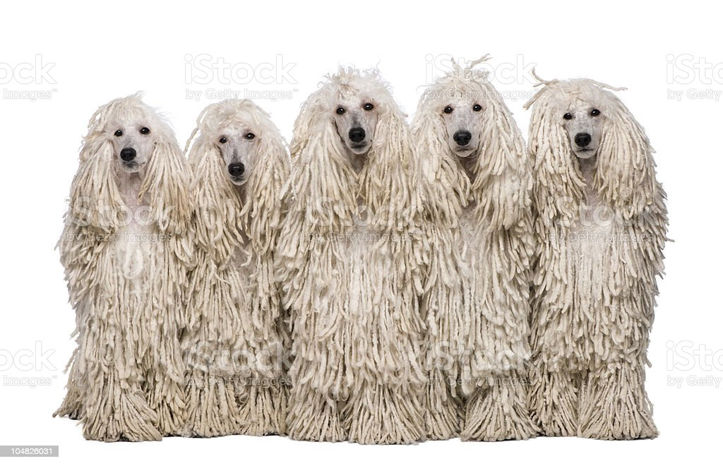 Front view of Five White Corded standard Poodles sitting. royalty-free stock photo