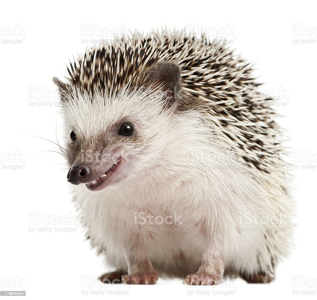 Front view of Four-toed Hedgehog, Atelerix albiventris. stock photo
