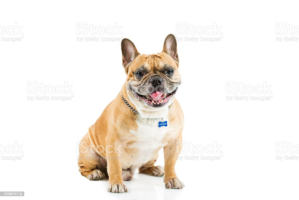 Front view of French bulldog stock photo