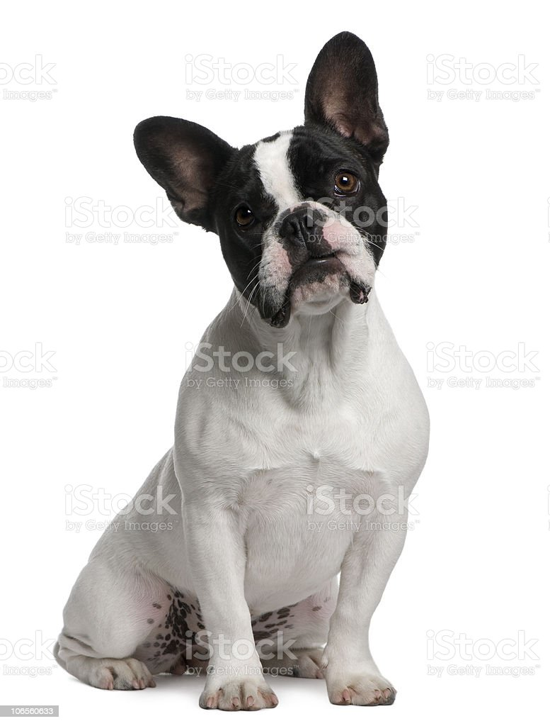 Front view of French Bulldog puppy, 8 months old, sitting. stock photo