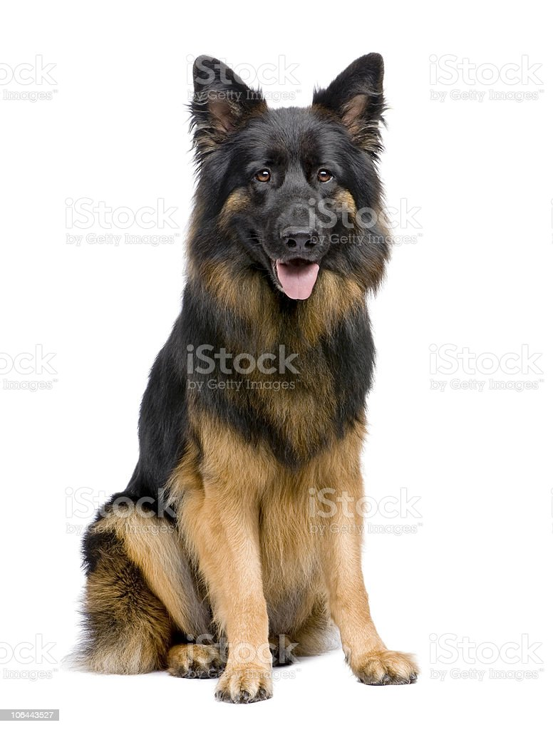 Front view of German Shepherd, 3 years old, sitting. stock photo